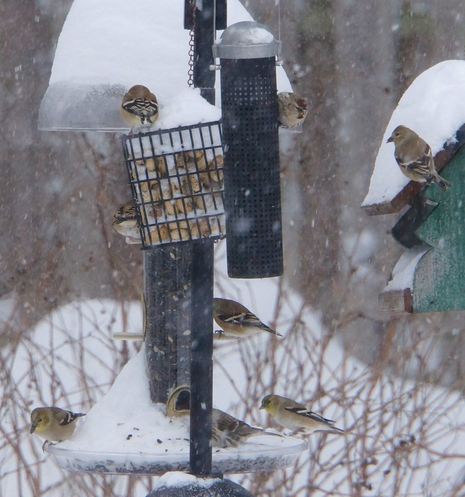 American Goldfinches and Common Redpolls