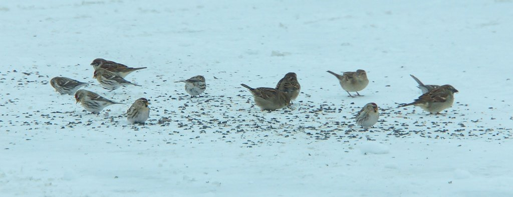 Redpolls and a couple of House Sparrows