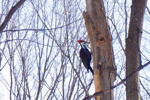 Pileated Woodpecker taken with 50mm lens on Sony NEX-7 camera, cropped and enlarged.