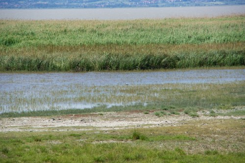 Marshland on edge of Neusiedler See with distant Egret