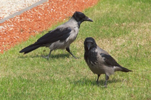 Hooded Crows in Vienna - it used to be that these were a subspecies of the Carrion Crow but fairly recently they were accorded a species all of their own.
