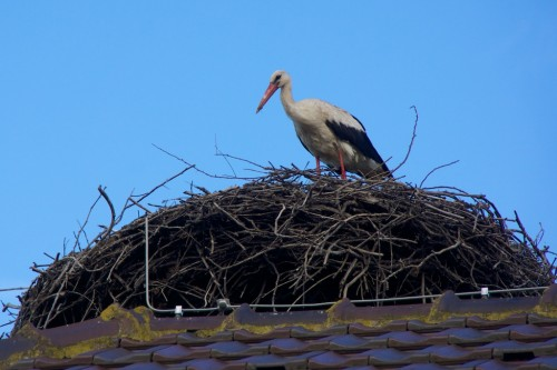 White Stork on a nest almost above our hotel bedroom window