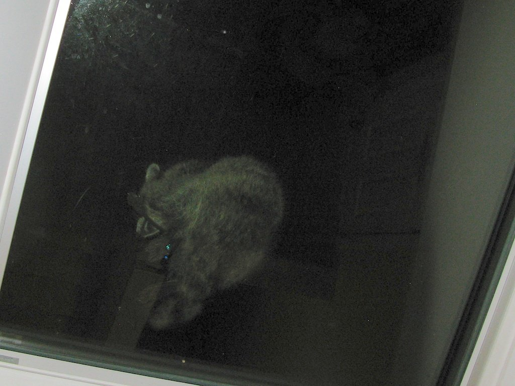 Racoon on the skylight - viewed from below (of course) doing pretty much what cats do when they are having a wash and a brush up.