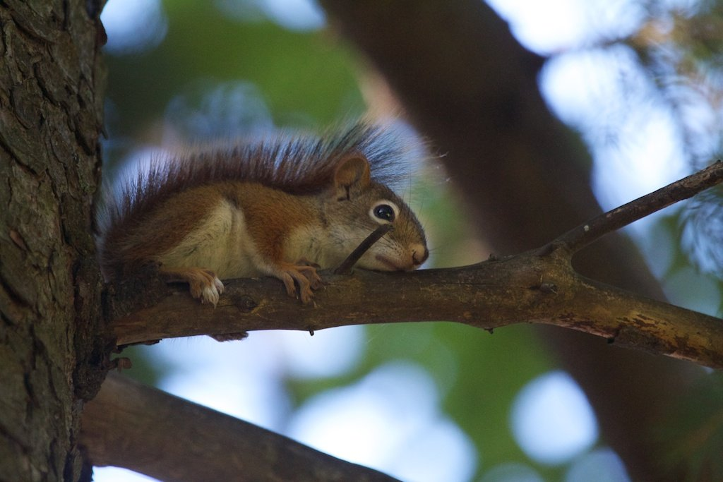 A very, very young squirrel