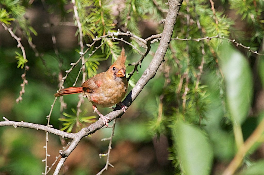Pretty young male Northern Cardinal - like most teenagers, pretty scruffy