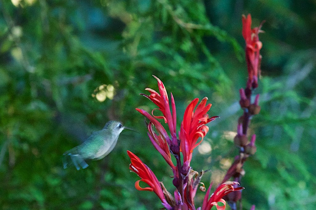 Ruby-throated Hummingbird checking out our Canna Lily flowers