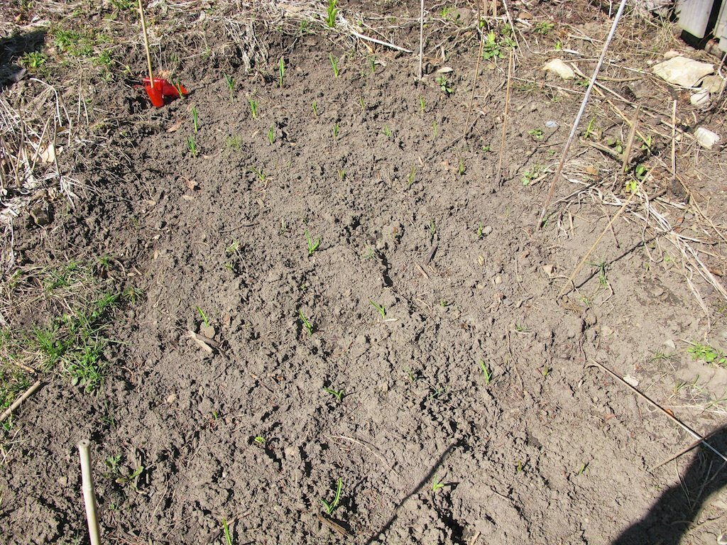 The garlic bulbs planted in the fall are already showing above ground.