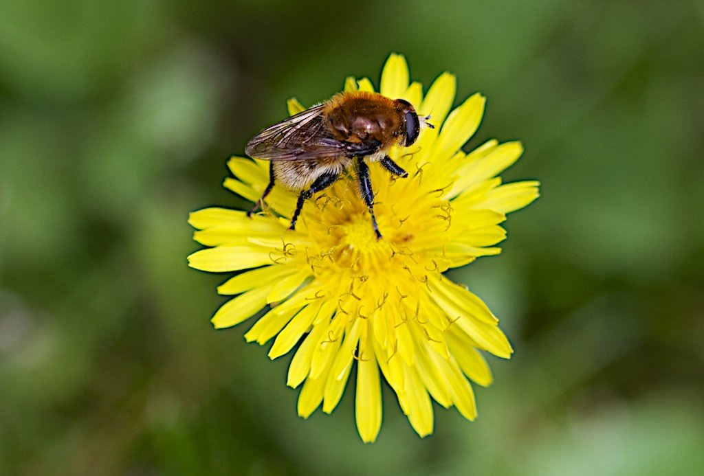 A bumblebee you to be identified (Bombus sp. anyway) attends to a dandelion.