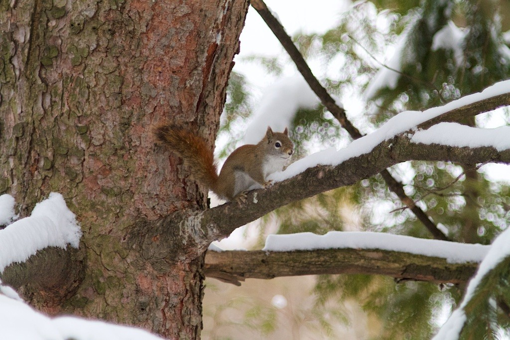 Red squirrel in his normal environment - they are very welcome like this