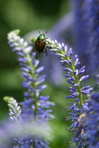 ... with Japanese beetle attendant