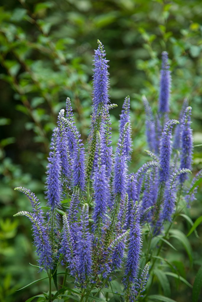 Cultivated vervain